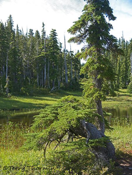 Twisted tree, Paradise Meadows