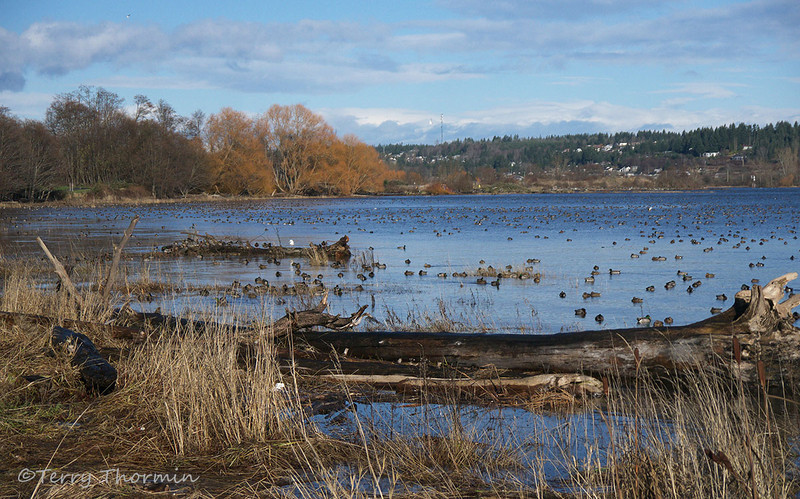 Waterfowl on the Courtenay Estuary