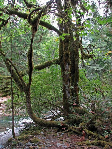 Old Mossy, Little Qualicum Falls Park, B.C.