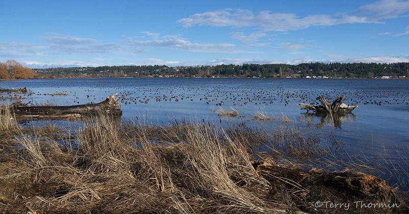 Waterfowl on the Courtenay Estuary