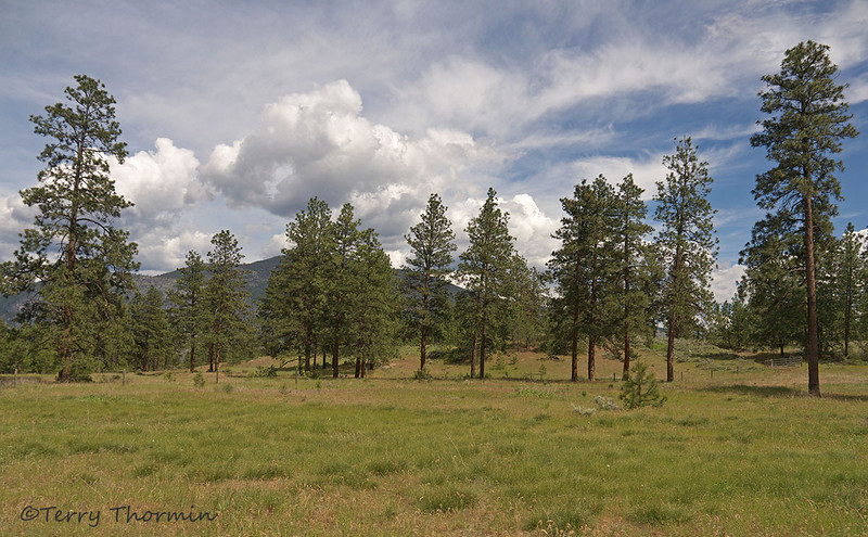 Open Ponderosa Pine habitat near Oliver