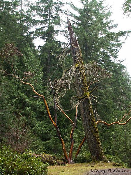 Arbutus and dead tree, Little Qualicum Falls P.P., B.C.