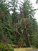Arbutus and dead tree, Little Qualicum Falls P.P., B.C.