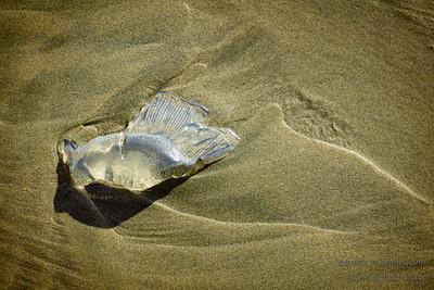 Jelly Fish fragment