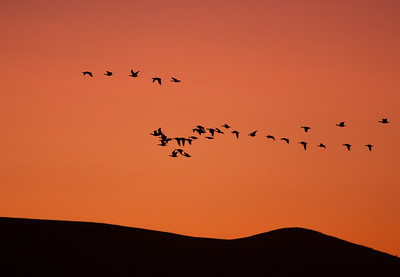 Barancle Geese Coming in to Roost