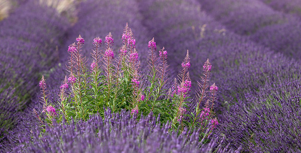 Lavender and Rosebay Willowherb
