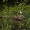Heron by the River Great Ouse