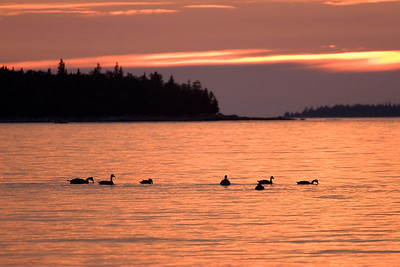 Geese at Sunset Tub Harbor, Tobermory Ontario