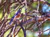 175, Western Bluebird