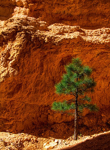 Lone Pines seem to pick unusual places to grow in Bryce Canyon.