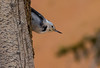 White-breasted Nuthatch, common in the Bryce Canyon Area and my first sighting ever. Their call was very beautiful and I just sat and listened to it several times.