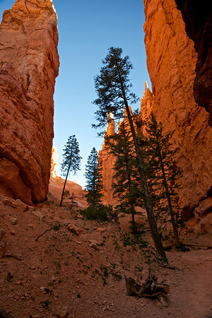 Tall Pine Trees in a Deep Canyon