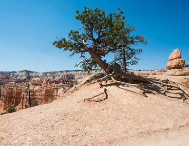 Lone bristlecone pine at the top of Navajo trail.