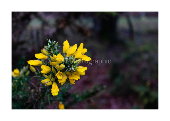 Gorse in flower