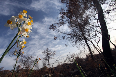 Regeneration - Daffodils Growing in the Burned Forest