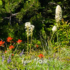 112  G Bear Grass, Indian Paintbrush and Lupine