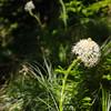 53  G Bear Grass Close Focus V