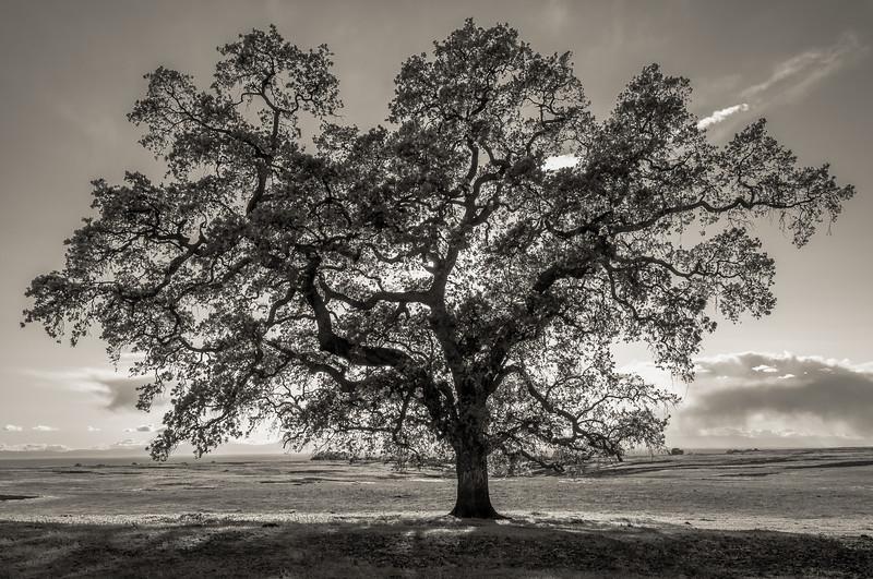 Table Mountain Oak