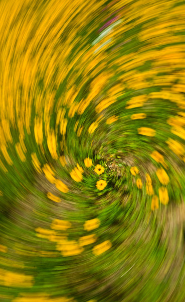 I used a technique to give a different look to the field of coreopsis. I changed my shutter speed to 1/50 to 1/30 second and turned the camera while I rotated the lense.<br /> A camera can be used as a paint brush.