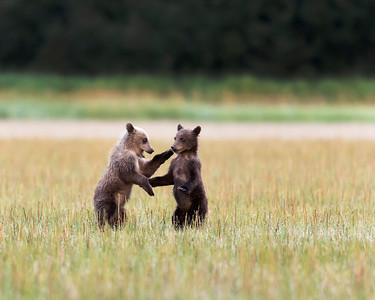 Brown Bear Cubs, fencing.  Photo was captured at Lake Clark National Park.
