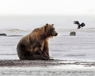 Coastal brown bear patiently awaits for salmon to exit the inlet,  eagle in the background positions itself to do the same.