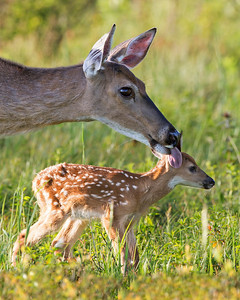 Mother licks the scent off her baby fawn before putting her down,  Keeping the scent off her baby helps against the predators.