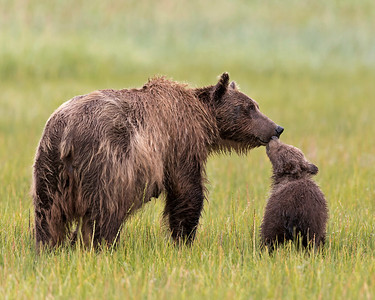 Brown bear and cub show adoration to each other. Lake Clark NP