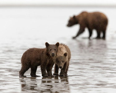 Spring Brown Bear Cubs,  looking on in the rain with their mother in the background.  Photo captured at Lake Clark National Park.