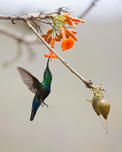 Green-Throated Carib Humming bird