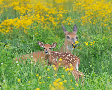 Baby Fawn & Mother