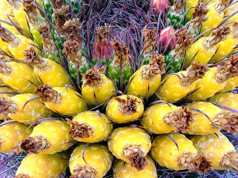 Barrel Cactus Bloom