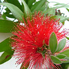 Bottlebrush Tree