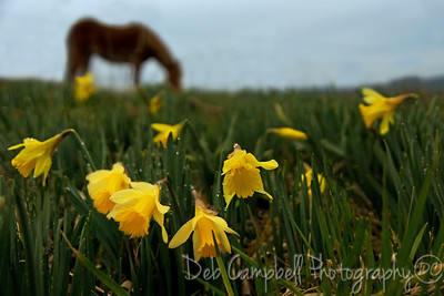 Daffodils and a Horse Cades Cove Great Smoky Mountains