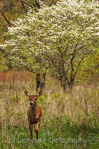 Doe and a Dogwood