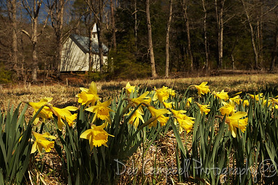 Daffodils and the Methodist Church Cades Cove Great Smoky Mountains