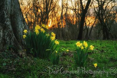 Daffodil Sunrise