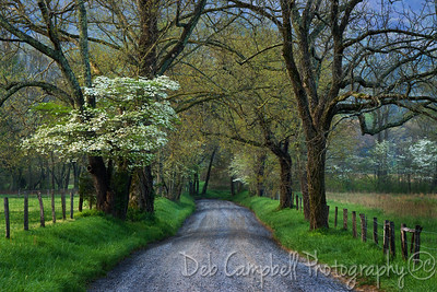 Dogwoods in Bloom on Sparks Lane Cades Cove Great Smoky Mountains