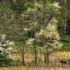Bear among the Dogwood Trees