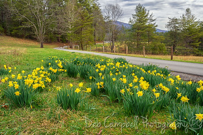 Daffodils on the Loop Road