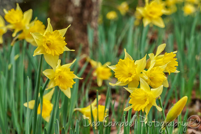 Early Spring Daffodils