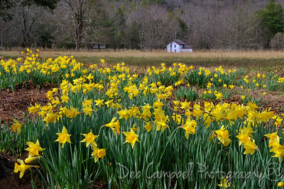 Daffodils at the Becky Cable House
