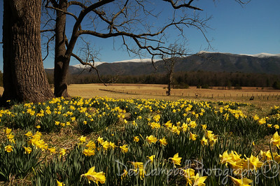 Daffodils  Cades Cove Great Smoky Mountains