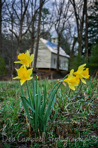 Daffodils at the Methodist Church