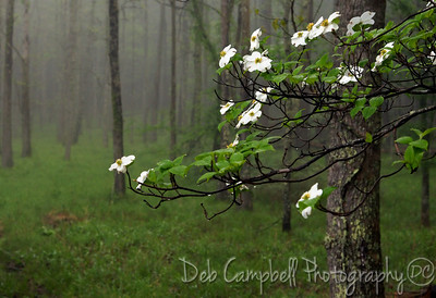 Dogwood in the Fog Cades Cove GSMNP Great Smoky Mountains