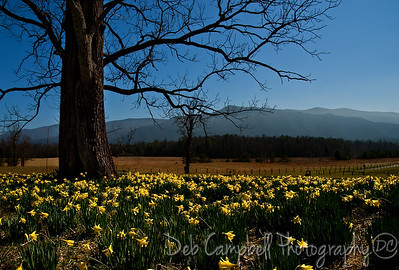 Spring Daffodils in  Cades Cove Great Smoky Mountians
