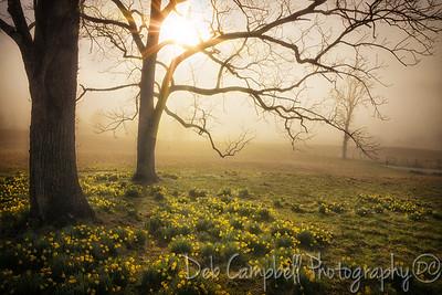 Daffodils at Daybreak