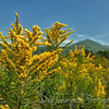 Golden Rod <br /> blooming in the fields of Cades Cove<br /> Great Smoky Mountains