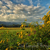 Golden Rod blooming in <br /> Cades Cove<br /> Great Smoky Mountains