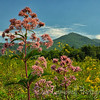 Joe-Pye Weed (Queen of the Meadow)<br /> blooming in the fields of Cades Cove<br /> Great Smoky Mountains