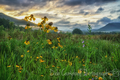 Purple-Headed Sneezeweed at Sunrise